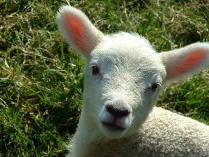 lamb-baby-sheep
